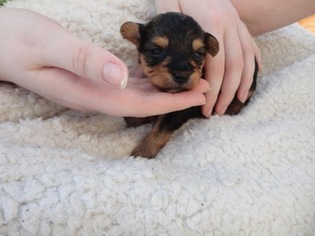 Yorkie-Poo Puppy For Sale in HUNTERSVILLE, NC