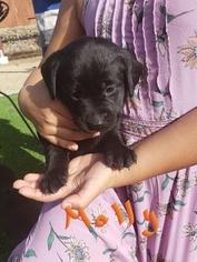 Loving Labrador Retriever puppy