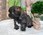 Small #5 Poodle (Miniature)-Shorkie Tzu Mix