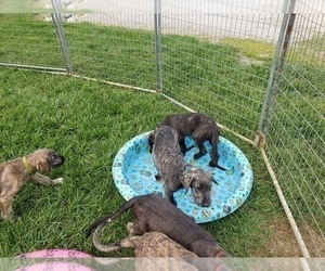 Irish Wolfhound Puppy for Sale in MONTGOMERY, Indiana USA