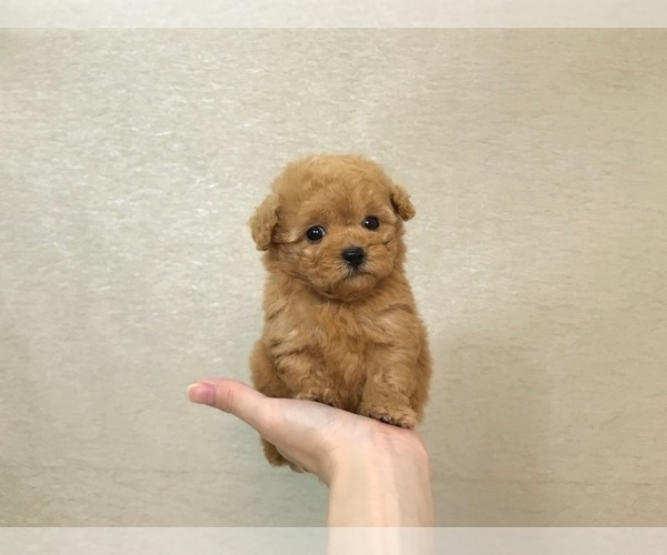 Medium Photo #3 Poodle (Toy) Puppy For Sale in LOS ANGELES, CA, USA