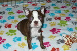 Boston Terrier Puppy For Sale in ORO VALLEY, AZ, USA