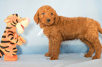 Goldendoodle Puppy For Sale in KENT, OH, USA