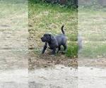 Small #3 Bullypit-German Shepherd Dog Mix
