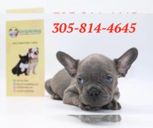 French Bulldog Puppy for sale in CORNELIUS, NC, USA