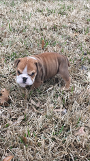Bulldog Puppy For Sale in WALLER, TX, USA