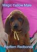 Redbone Coonhound Puppy For Sale in WALDRON, AR,