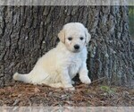 Small #1 Goldendoodle