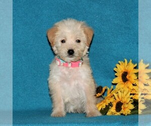 Miniature Labradoodle Dog for Adoption in CHRISTIANA, Pennsylvania USA
