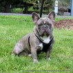 French Bulldog Dog For Adoption in DRAIN, OR, USA