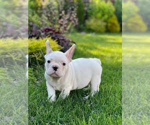 French Bulldog Puppy for sale in PHILADELPHIA, PA, USA