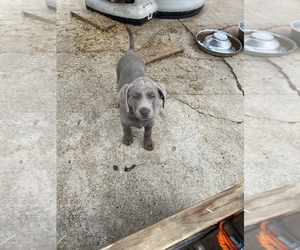 Labrador Retriever Puppy for sale in LAKE CITY, MI, USA