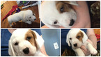 Ba-Shar Puppy For Sale in PARKVILLE, MD