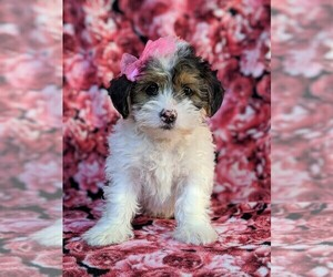 Medium Poodle (Miniature)-Shorkie Tzu Mix