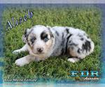 Alizeh Mini Blue Merle Female Aussie