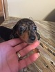 Dachshund Puppy For Sale in JAY, OK