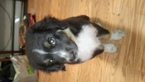 Miniature Australian Shepherd Puppy For Sale in LACEY, WA, USA
