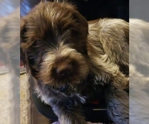 Wirehaired Pointing Griffon Puppy for sale in WATERLOO, WI, USA