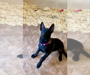 Belgian Malinois Puppy for sale in PALMHURST, TX, USA