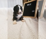 Small Photo #10 Aussiedoodle Puppy For Sale in DERBY, IA, USA