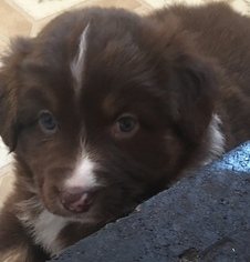 Australian Shepherd Puppy For Sale in PINE BUSH, NY, USA