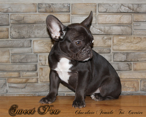 french bulldog puppies omaha view ad listing puppy for sale adn 05152992709 omaha 4633