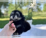Small #4 Havanese-Poodle (Toy) Mix