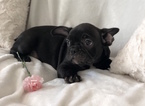 Small #7 French Bulldog
