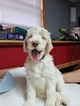 Labradoodle Puppy For Sale in BALTIC, CT, USA