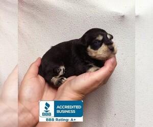 Schnauzer (Miniature) Dog for Adoption in WINNSBORO, Louisiana USA