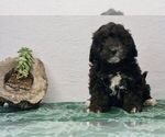Puppy 2 Bernedoodle-Poodle (Toy) Mix