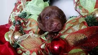 Labrador Retriever Puppy For Sale in MILLTOWN, IN, USA