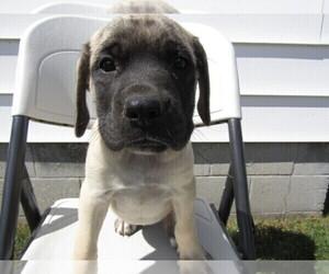 Mastiff Puppy for sale in HUDSON, MI, USA