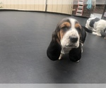 Small Photo #11 Basset Hound Puppy For Sale in DALTON, GA, USA