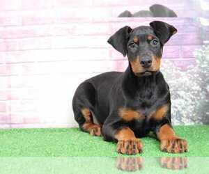 Doberman Pinscher Puppy for sale in BEL AIR, MD, USA
