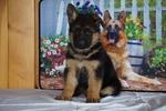 German Shepherd Dog Puppy For Sale in FREDERICKSBURG, OH, USA