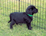Labradoodle Puppy For Sale in PHOENIX, AZ, USA