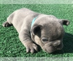 Small #32 French Bulldog