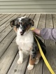 Australian Shepherd Puppy For Sale in WAUSEON, OH, USA