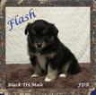 Miniature Australian Shepherd Puppy For Sale in FORESTBURG, TX