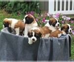 Small #2 Saint Bernard