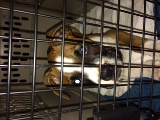 Boxer Puppy For Sale in ALISO VIEJO, CA