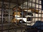 Boxer Puppy For Sale in ALISO VIEJO, CA
