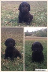 Boykin Spaniel Puppy For Sale in TRINITY, AL