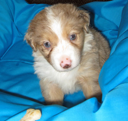 Miniature Australian Shepherd Puppy For Sale in HILLIARD, OH