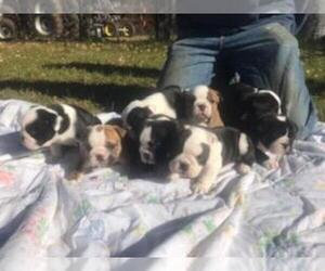 Bulldog Puppy for Sale in CLEARWATER, Minnesota USA