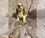 Puppy 7 Basset Hound