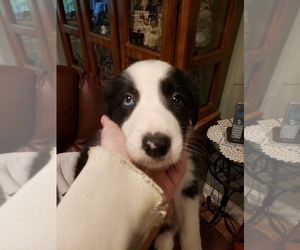 Border Collie Puppy for sale in MOREHEAD, KY, USA