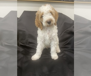 Goldendoodle Puppy for Sale in PHILA, Pennsylvania USA