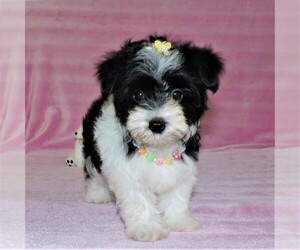 Morkie Puppy for Sale in DADE CITY, Florida USA